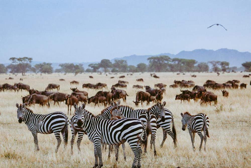 La grande migration en Tanzanie : notre guide pratique