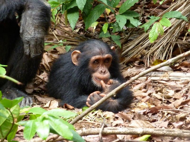 Sur les traces des Chimpanzés au Parc national Gombe Stream